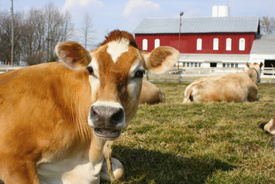 New Castle, Pennsylvania dairy farm loses license to sell raw milk