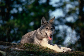 Northern Rockies Wolves Regain Endangered Species Status