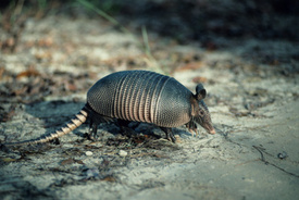 Armadillo, Leprosy Link Found in the Deep South