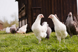 Report: Presence of Antibiotic-Resistant Bacteria Lower in Organic Poultry